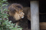 Male Lion Looking to the Right