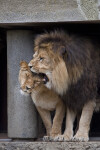 Male Lion Playfully Nipping at Head of Lioness