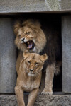 Male Lion Roaring at Female Lion