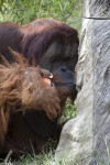 Male Orangutan and Fruit
