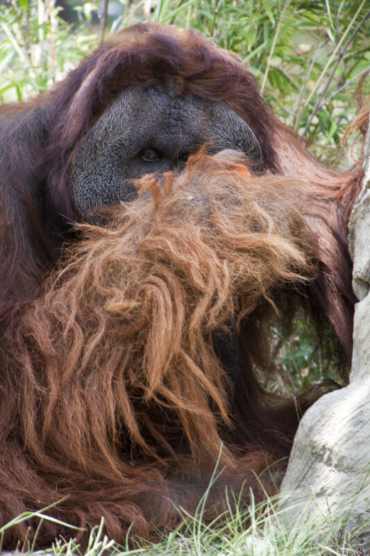 Male Orangutan Eating