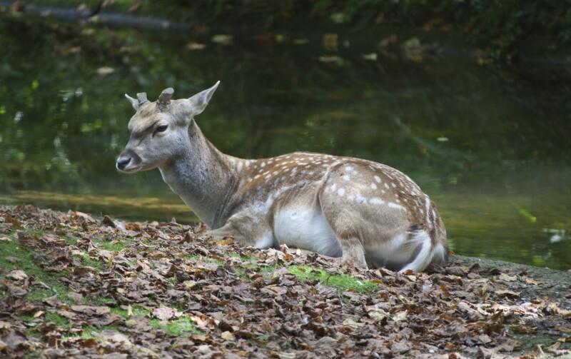 Male Persian Fallow Deer Resting