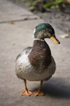 Mallard Duck on Sidewalk