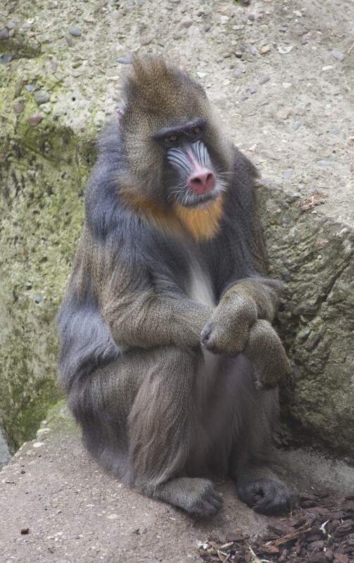 Mandril at the Artis Royal Zoo Sitting on a Rock