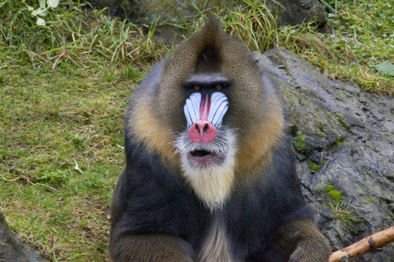 Mandrill from Front
