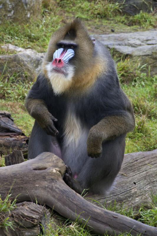 Mandrill on a Log
