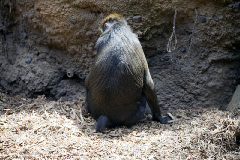 Mandrill Rear