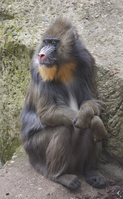 Mandrill Sitting on a Rock with its Head Turned to its Right