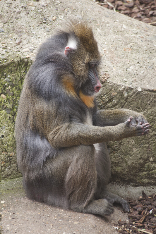 Mandrill Sitting on a Rocky Surface with its Arms Rested on its Knees