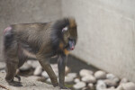 Mandrill Walking on a Ledge at the Artis Royal Zoo