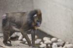 Mandrill Walking on a Ledge at the Artis Royal Zoo