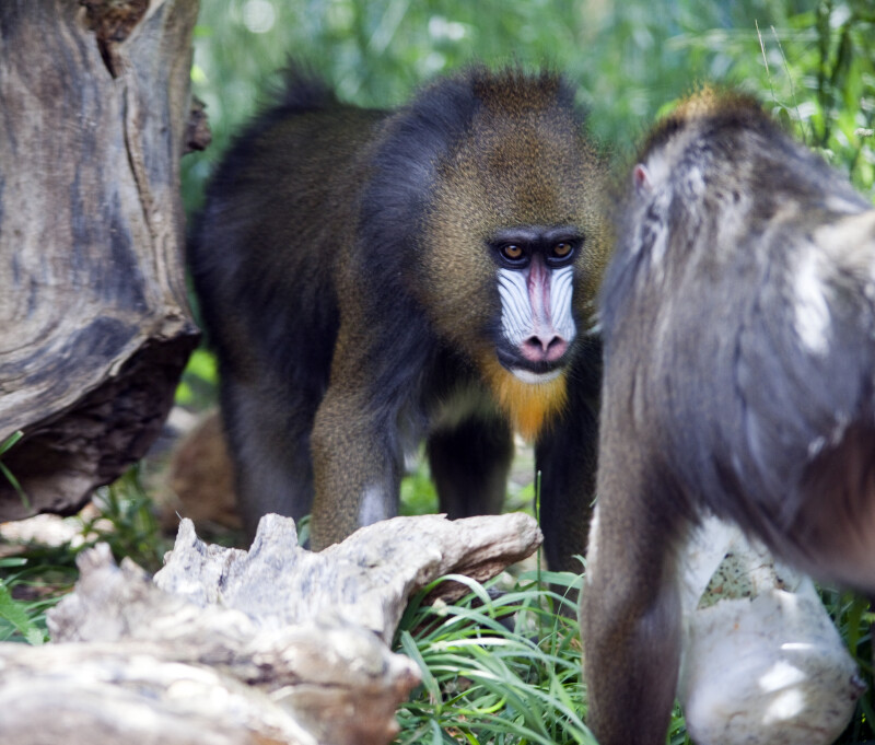 Mandrill's Face-to-Face