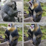 Mandrills photographs