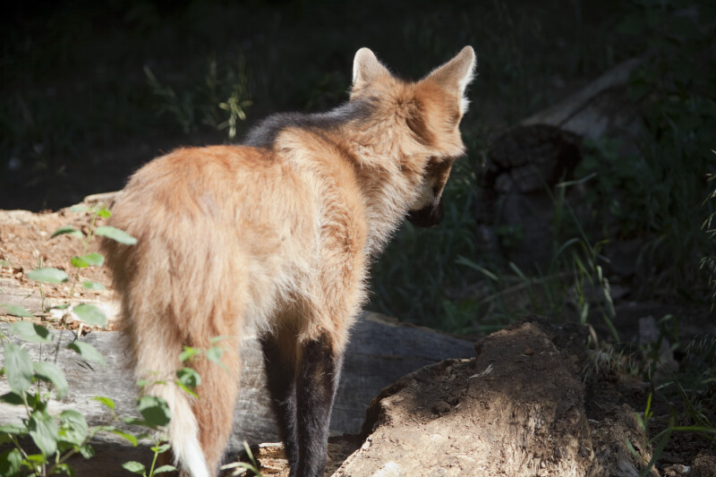 Maned Wolf from Behind