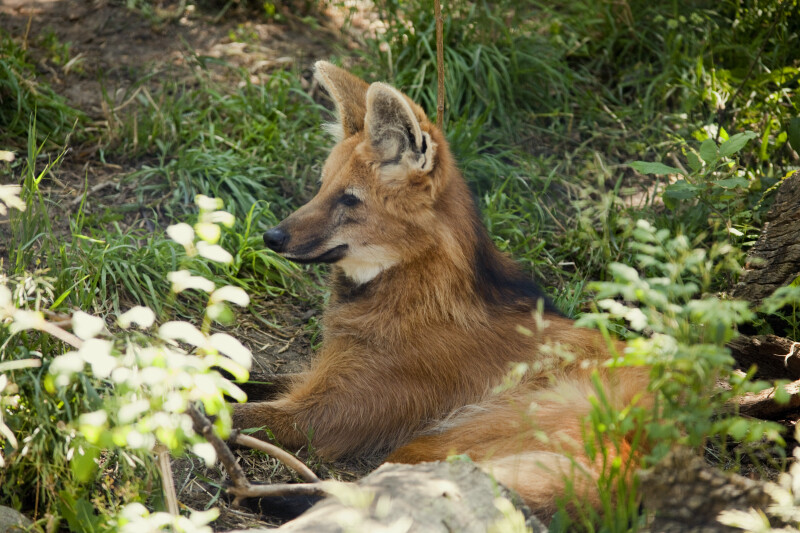 Maned Wolf in Grass