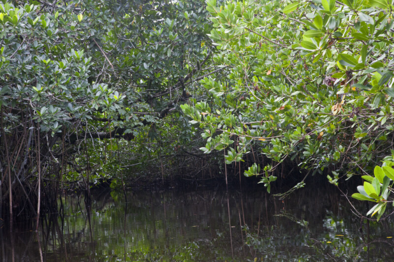 Mangrove Branches Hanging Over Halfway Creek in Everglades National Park