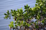 Mangrove Details