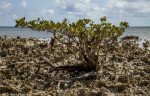 Mangrove Growing in Cluster of Dried Coral