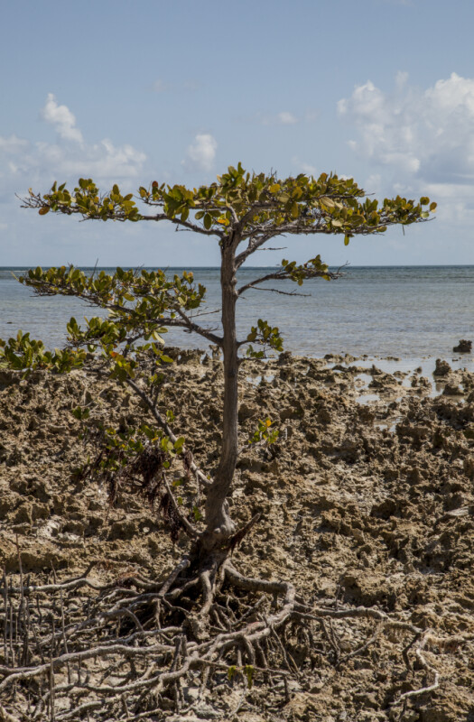 Mangrove Growing in Sand at Biscayne National Park