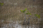 Mangrove Growing in Sawgrass