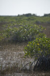 Mangrove Growing in Water