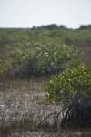 Mangrove Growing in Water