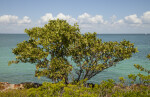 Mangrove Growing Near Light-Blue Water