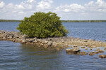 Mangrove Growing on a Rock Formation