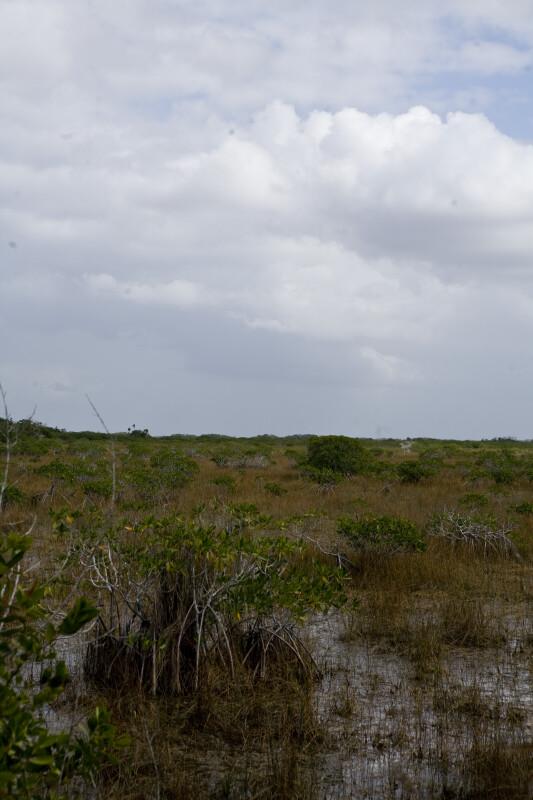 Mangrove in Water