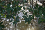 Mangrove Leaves Above Muddy Saltwater