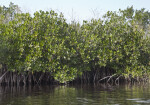 Mangrove Leaves and Roots on Display at Halfway Creek in Everglades National Park