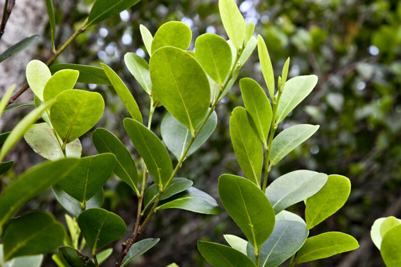 Mangrove Leaves Close-Up