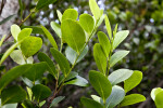 Mangrove Leaves Close-Up