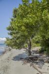 Mangrove Near Shoreline