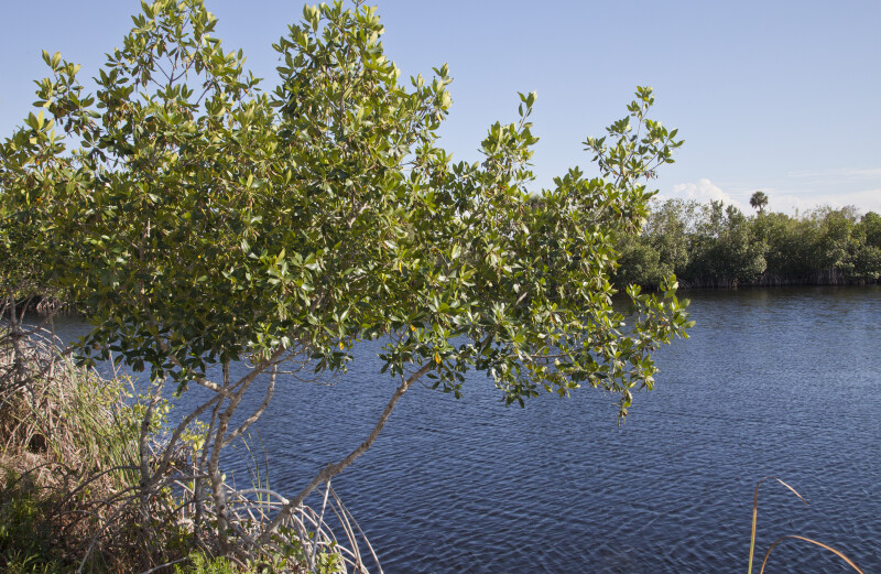 Mangrove Near Waterway at Big Cypress National Preserve