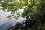 Mangrove on Shore