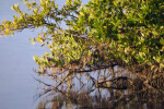 Mangrove Over Water