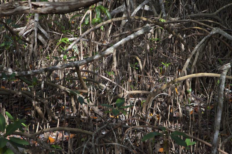 Mangrove Prop Roots and Pneumatophores