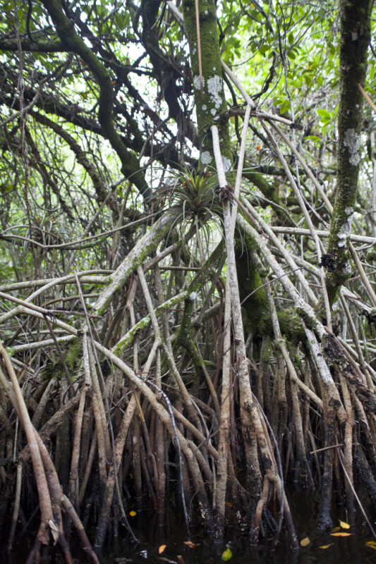 Mangrove Roots at Halfway Creek in Everglades National Park