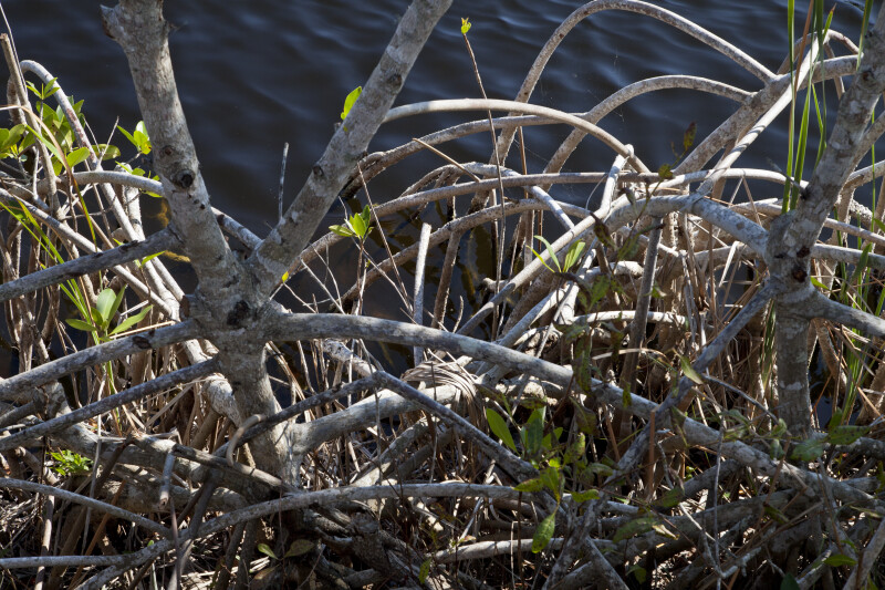 Mangrove Roots at the Big Cypress National Preserve