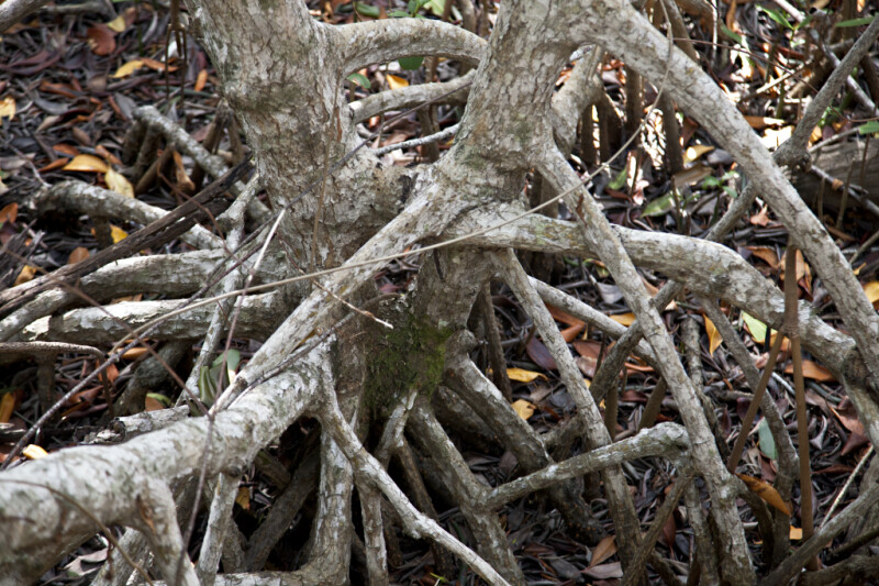 Mangrove Roots Close-Up
