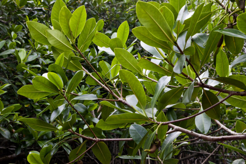 Mangrove Tree Branches with Leaves