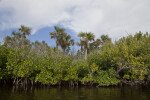 Mangrove Trees in Front of Palm Trees Along Halfway Creek in Everglades National Park