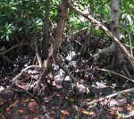 Mangrove Trunks