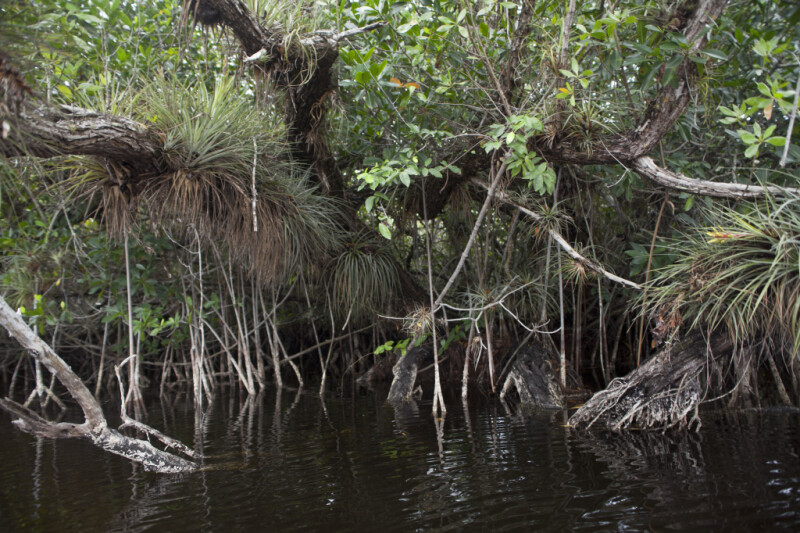 Mangrove with Giant Airplants on its Branches