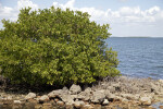 Mangrove with Prop Roots Growing Near Rocks