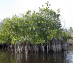 Mangrove with Roots Submerged in Water