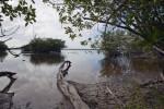 Mangroves at Bear Lake
