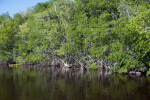 Mangroves at Buttonwood