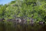 Mangroves at Buttonwood